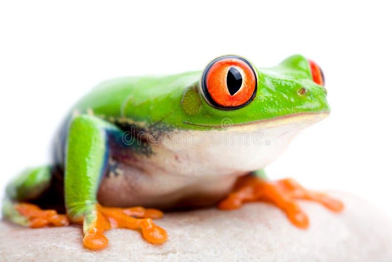 Download Frog stock photo. Image of macro, tree, space, frog, green - 2422198