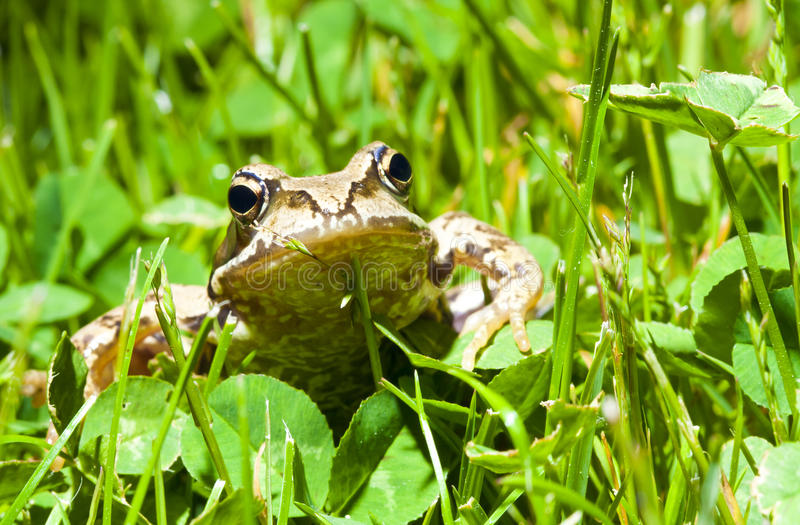 Download Frog stock image. Image of love, kiss, legs, stripes - 25322671