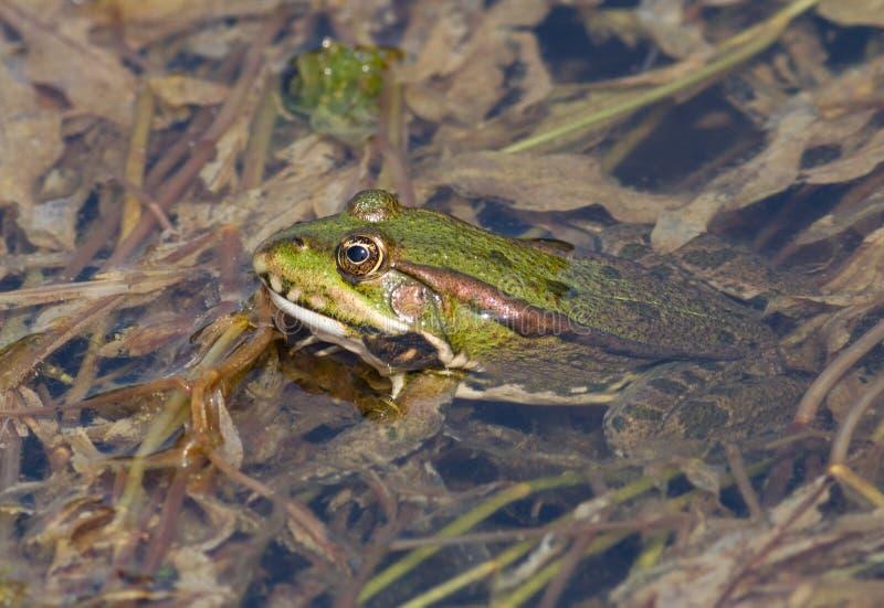 Download Frog stock photo. Image of slimy, vegetation, close, animal - 26424164