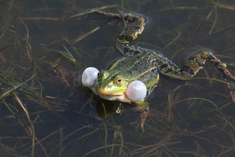 Download Frog stock image. Image of ditch, frog, nature, bladder - 27326541