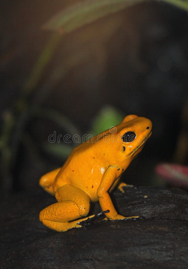 Frog. Yellow Poison Dart Frog Sitting On Log stock images