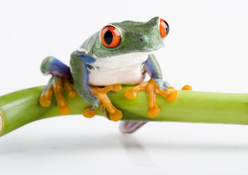 Frog. Small animal with smooth skin and long legs that are used for jumping. s live in or near water. / The Agalychnis callidryas, commonly know as the Red royalty free stock photography