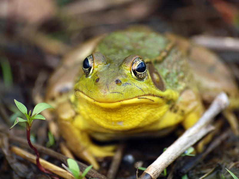 Frog. Green frog. Bright yellow throat on male. Green-bronze/brown. External eardrums large. Dorsolateral ridges. White belly, darker pattern of stripes/spots stock images