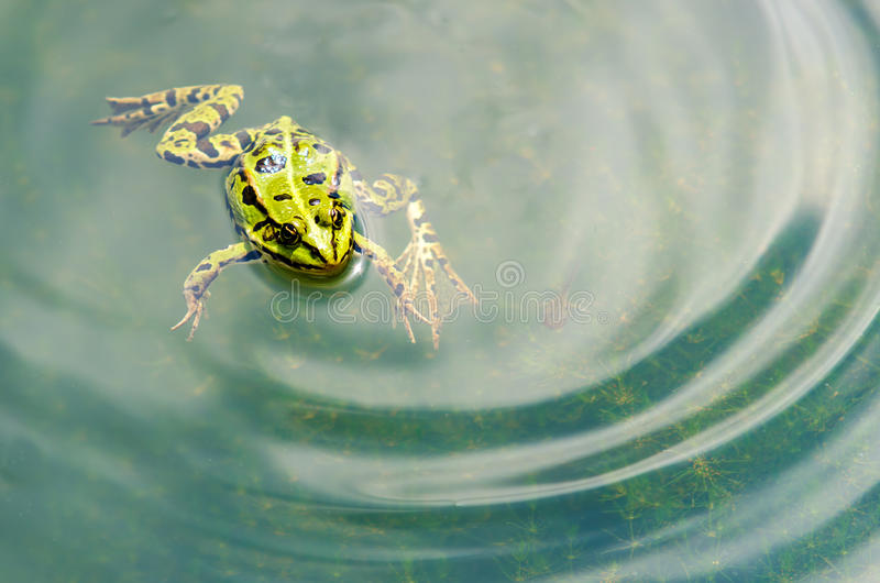 Frog. Green frog in clear water royalty free stock photo