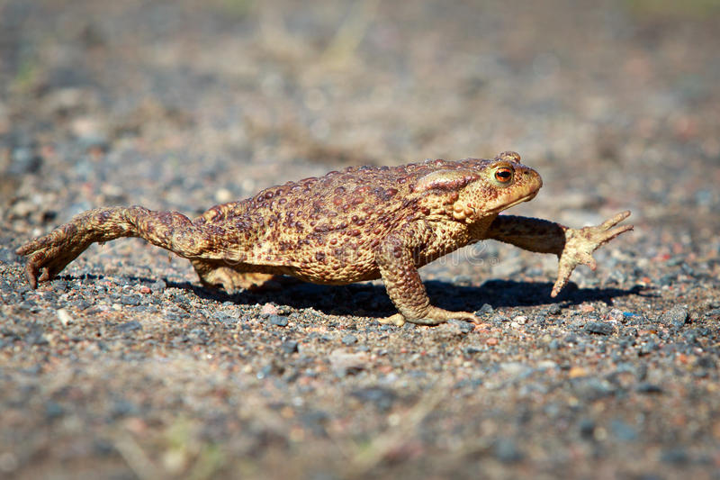 Frog. The amphibian on nature royalty free stock photos