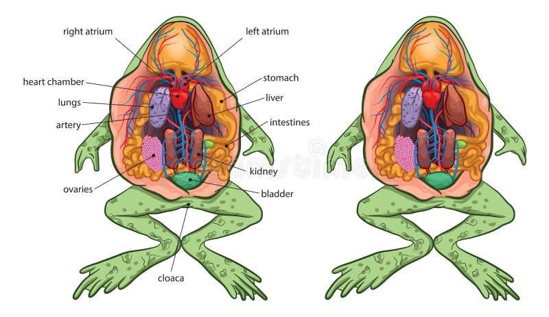 frog anatomy diagram labeled frog anatomy stock illustrations     130 frog anatomy stock  frog anatomy stock illustrations     130