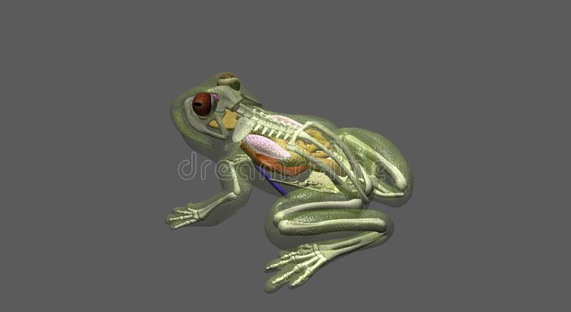 Frog anatomy top-side view stock photo