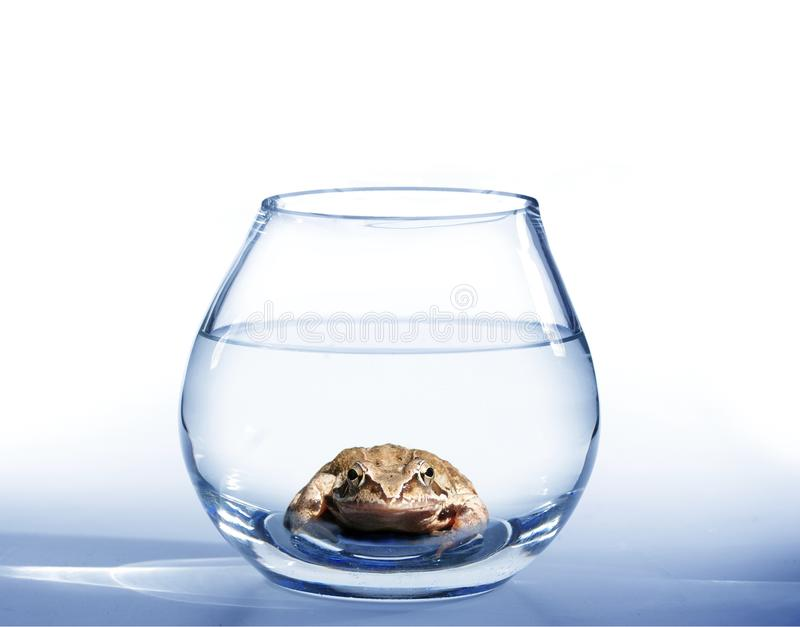 Frog in aquarium. Brown frog in glass round aquarium from water stock photography