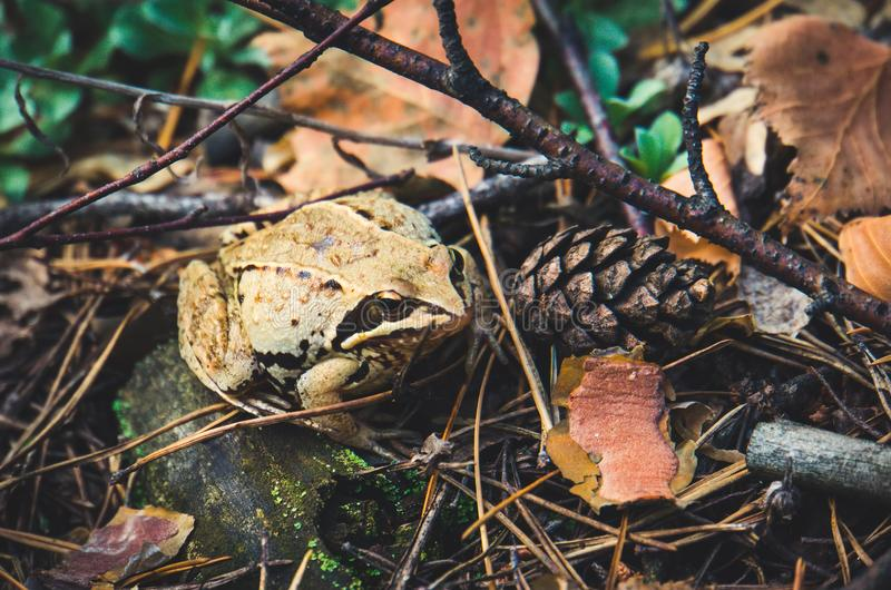 Frog in autumn forest. A grey frog sitting in the yellow autumn foliage in the forest. Closeup image stock photos
