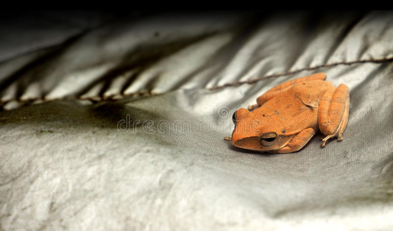 Frog baby orange color has copy space. Frog baby orange color, his hand is under the chin, He is on silver cloth, Macro photo and close up focus select at face royalty free stock photography