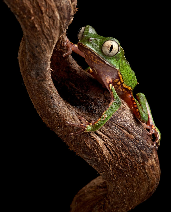 Frog with big eyes on branch of amazon tree