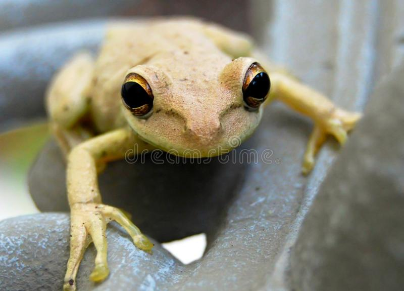 Frog with big eyes royalty free stock photo
