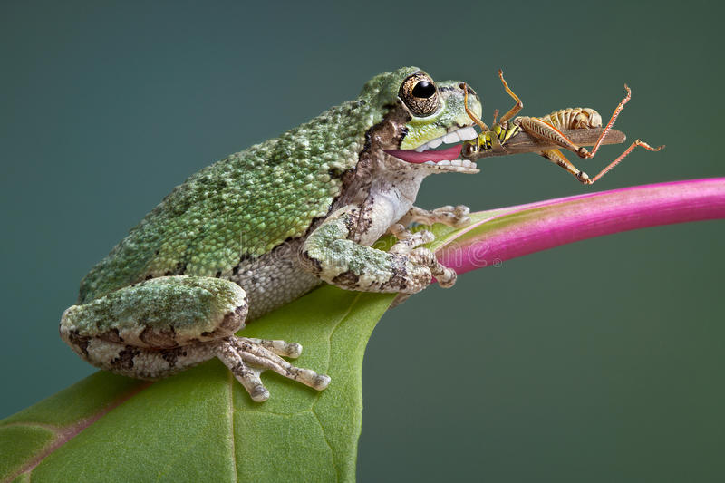Frog biting grasshopper. A baby grey tree frog has captured a grasshopper and is eating it stock image