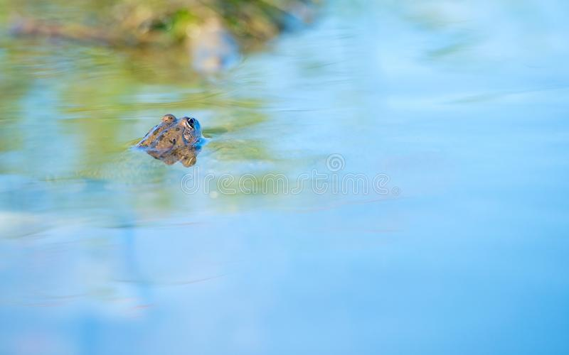 Frog in the blue water. Frog in the water. only the eyes of the frog are out stock images