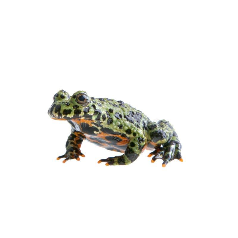 Frog Bombina orientalis on a white background royalty free stock photos