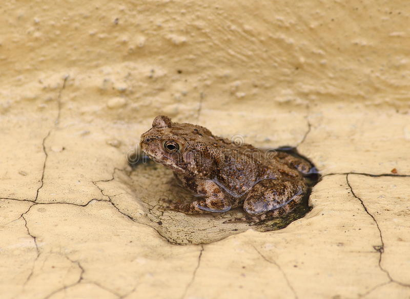 Frog. Brown Asian Frog on a rainy day royalty free stock images