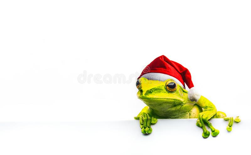 Frog with Christmas hat isolated on white background.  stock photo