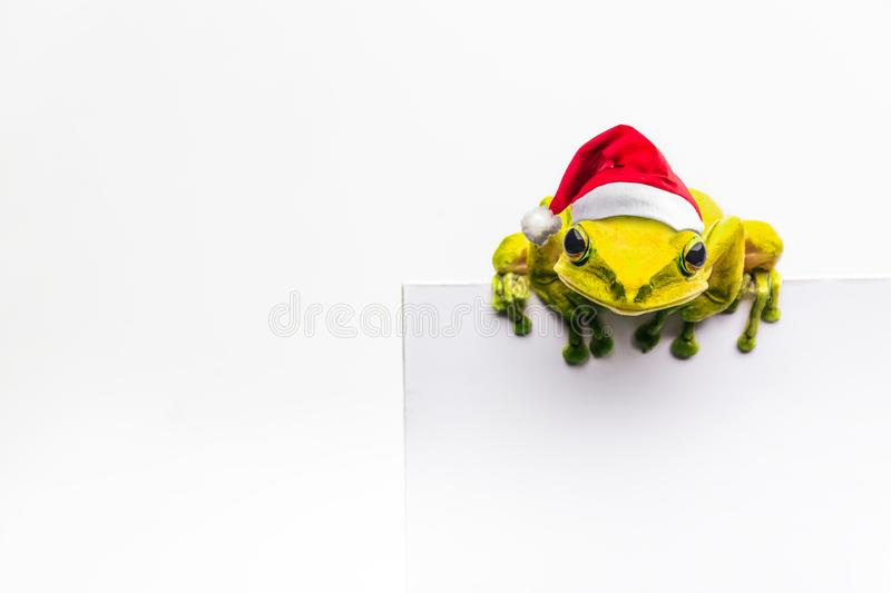 Frog with Christmas hat isolated on white background.  royalty free stock photography