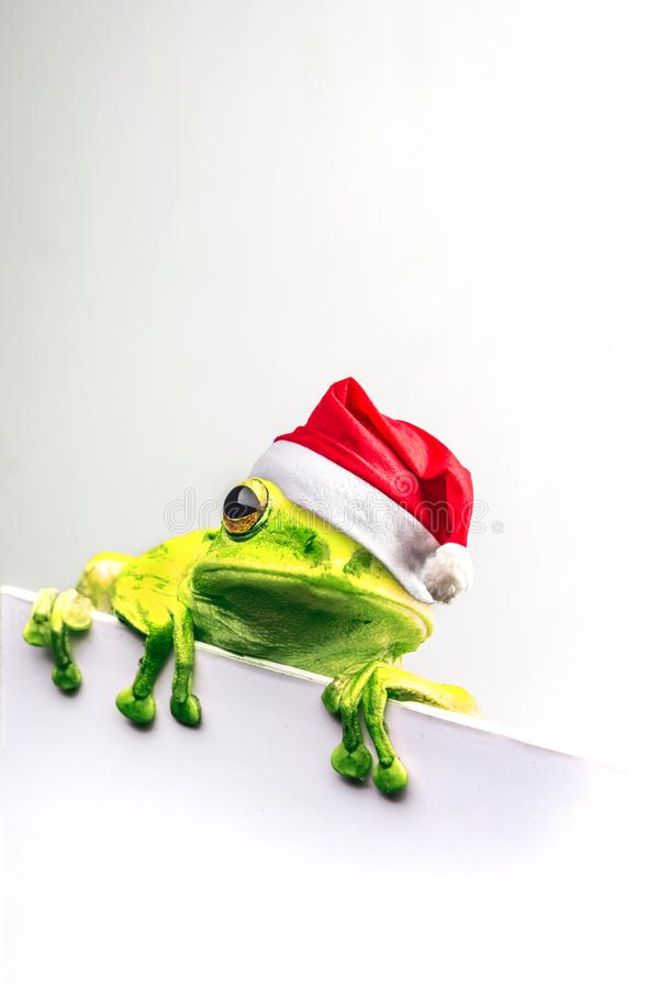 Frog with Christmas hat isolated on white background.  royalty free stock photos