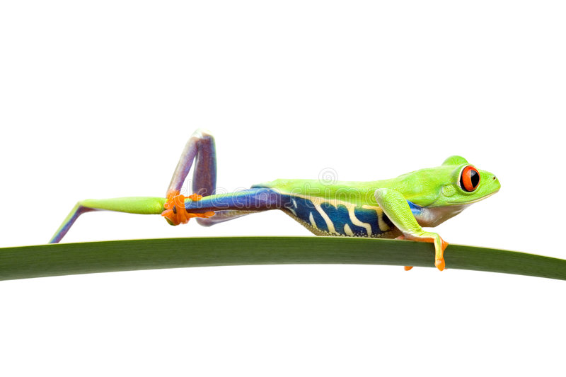 Frog cleaning itself isolated royalty free stock photos