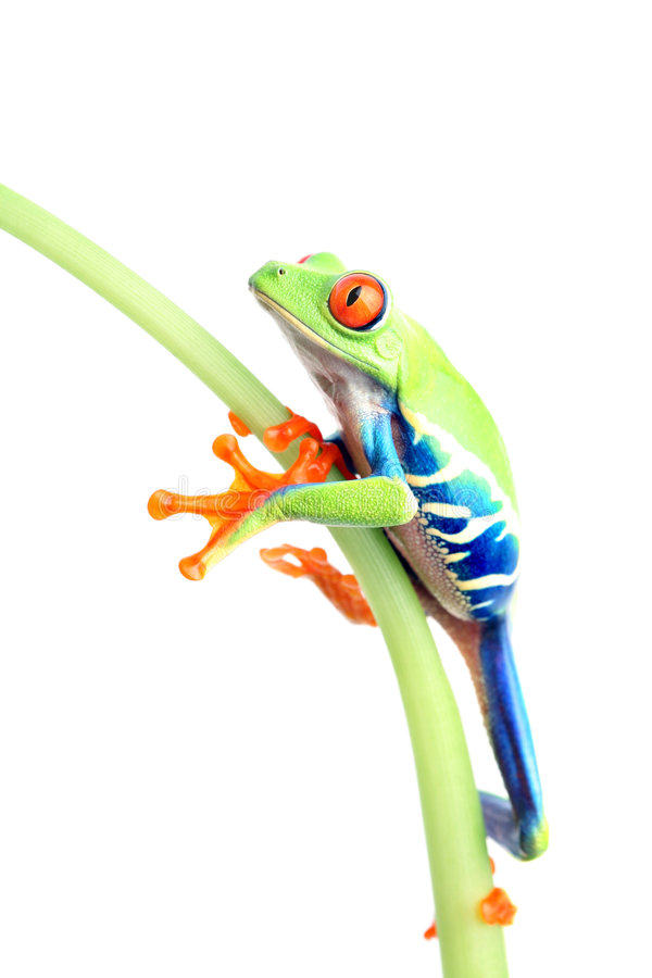 Frog climbing plant isolated on white royalty free stock photos