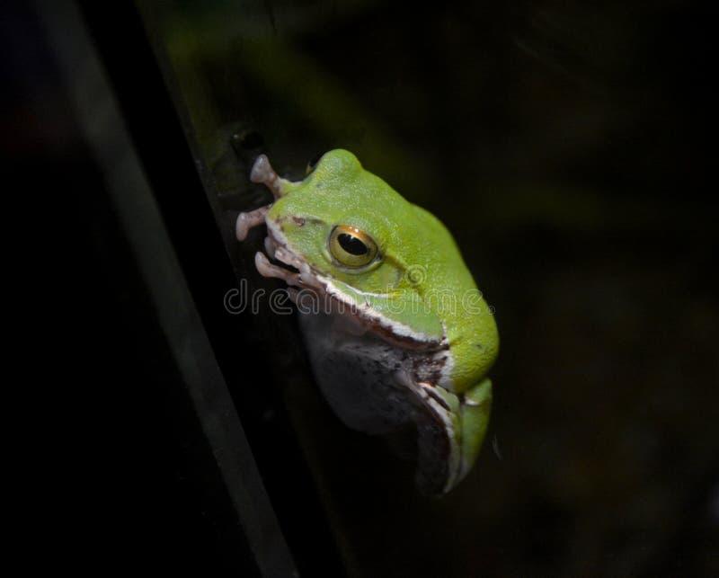 Frog Close-up royalty free stock photos