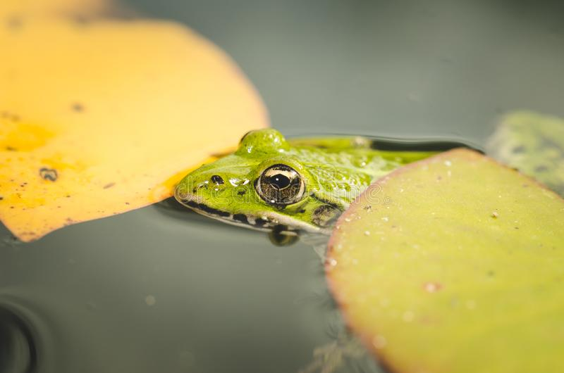 Frog close up in water lilies/frog close up in green leaves of a water lily royalty free stock photography