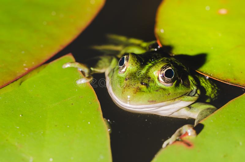 Frog close up in water lilies/frog close up in green leaves of a water lily royalty free stock image
