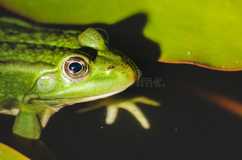 Frog close up in water lilies/frog close up in green leaves of a water lily stock photo