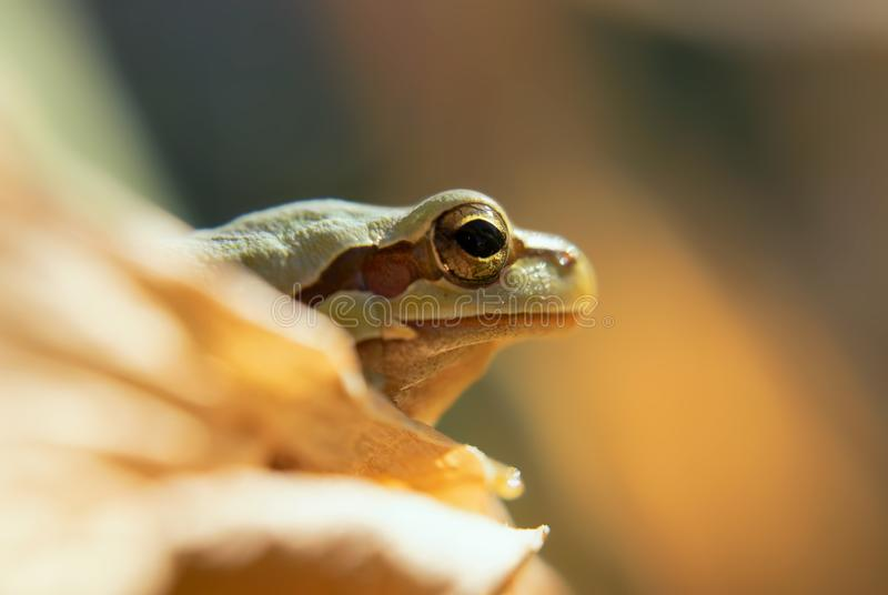 Frog in closeup. Frog macro photography camouflaging in nature stock photography