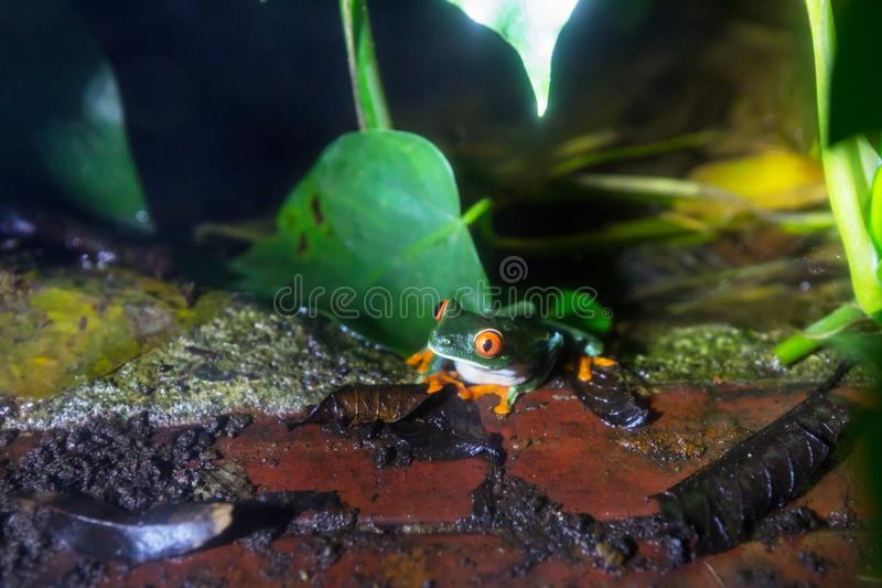 Frog in Costa Rica. Red-eye frog Agalychnis callidryas in Costa Rica, Central America royalty free stock photo