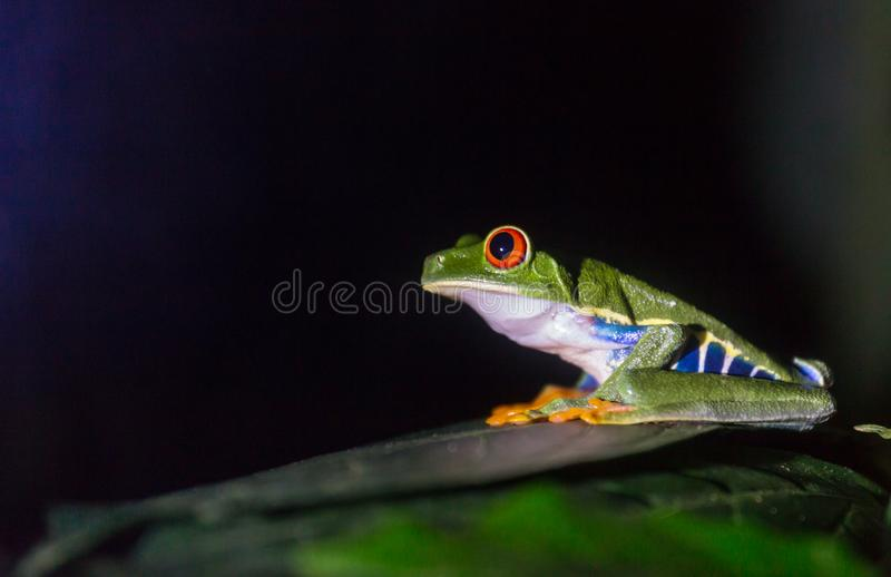 Frog in Costa Rica. Red-eye frog Agalychnis callidryas in Costa Rica, Central America stock photography
