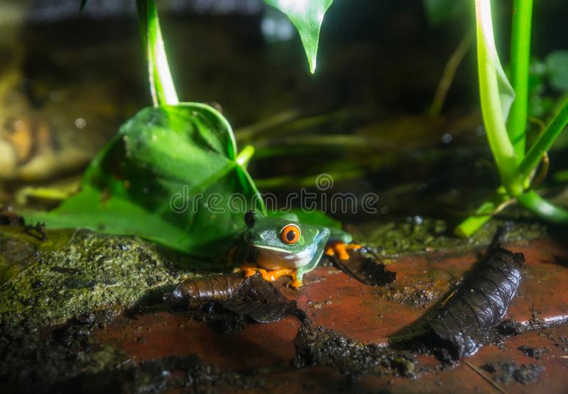 Frog in Costa Rica. Red-eye frog Agalychnis callidryas in Costa Rica, Central America stock photos