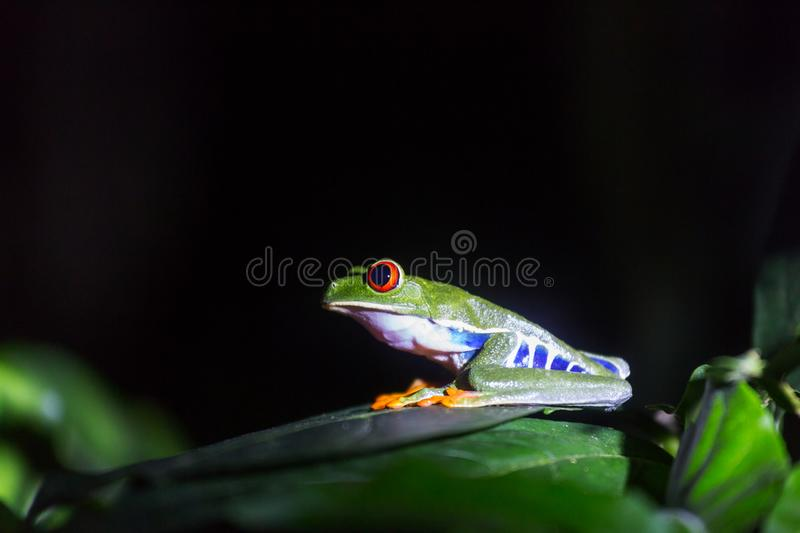 Frog in Costa Rica. Red-eye frog Agalychnis callidryas in Costa Rica, Central America royalty free stock image
