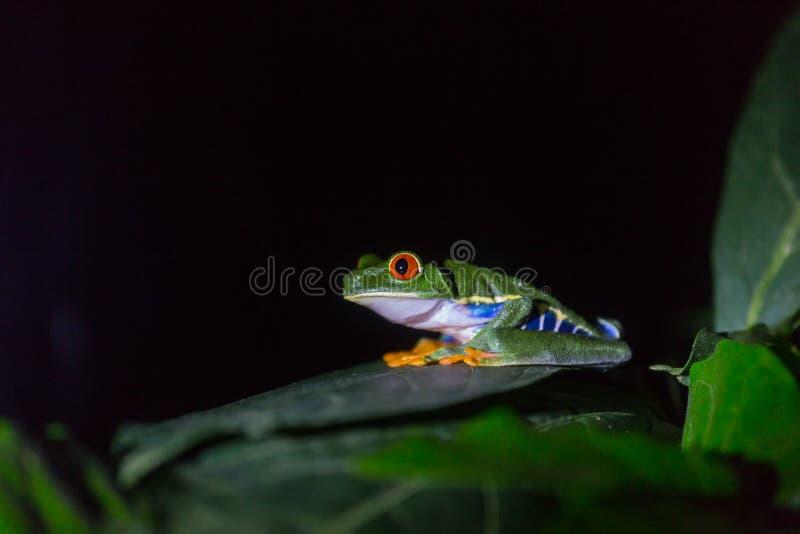 Frog in Costa Rica. Red-eye frog Agalychnis callidryas in Costa Rica, Central America stock image