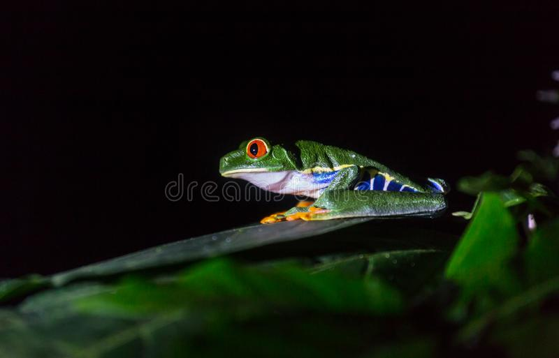 Frog in Costa Rica. Red-eye frog Agalychnis callidryas in Costa Rica, Central America stock images