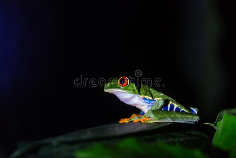 Frog in Costa Rica. Red-eye frog Agalychnis callidryas in Costa Rica, Central America royalty free stock photos