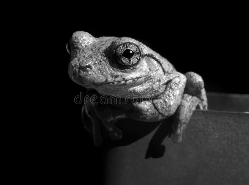 Frog. Dramatic black and white close up Peron`s Tree Frog against black background royalty free stock photos