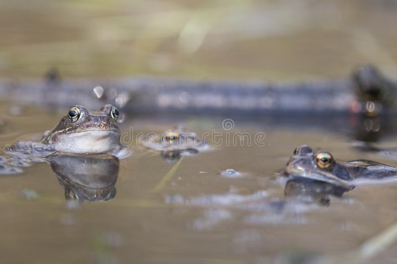 Frog,european toad,rana temporaria in early spring during mating,bufo bufo royalty free stock photos