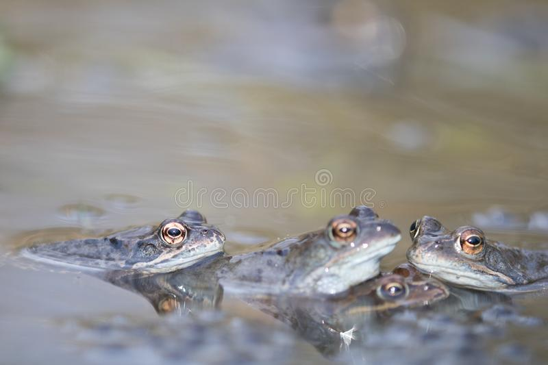 Frog,european toad,rana temporaria in early spring during mating,bufo bufo royalty free stock photography
