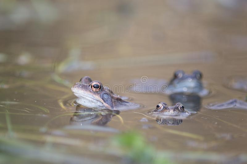 Frog,european toad,rana temporaria in early spring during mating,bufo bufo stock photos