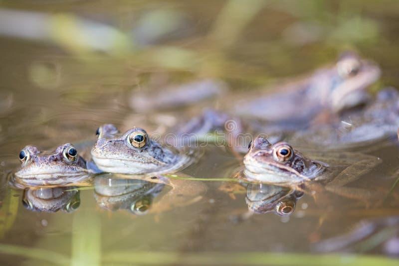 Frog,europeisk toad,rana temporaria tidigt under parning,bufo bufo arkivbild