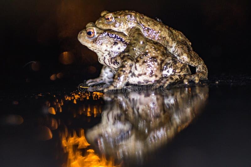 Frog,europeisk toad,rana temporaria tidigt under parning,bufo bufo royaltyfria foton