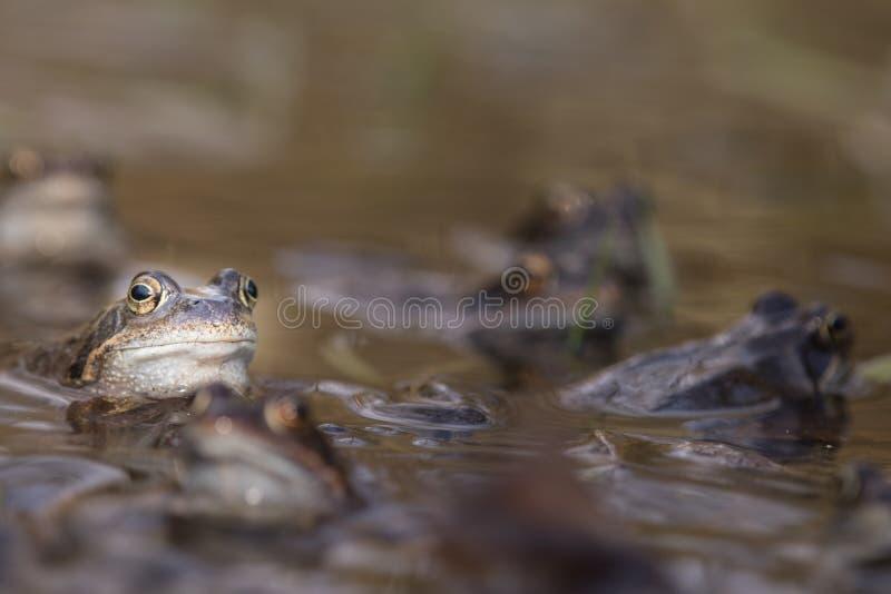 Frog,europeisk toad,rana temporaria tidigt under parning,bufo bufo arkivfoton