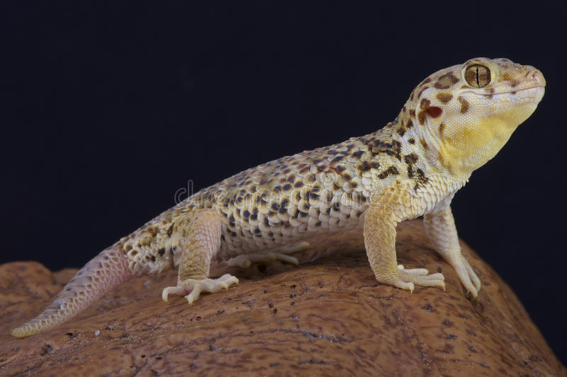 Frog-eyed gecko / Teratoscincus roborowski. The frog-eyed gecko is a large scales lizard species endemic to the arid Turpan depression in China royalty free stock images