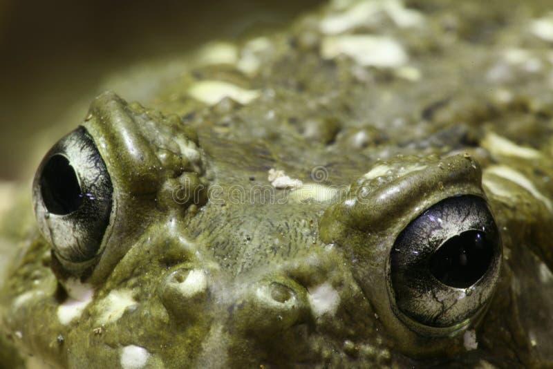 Download Frog eyes stock image. Image of eyes, nose, pupil, frog - 521255