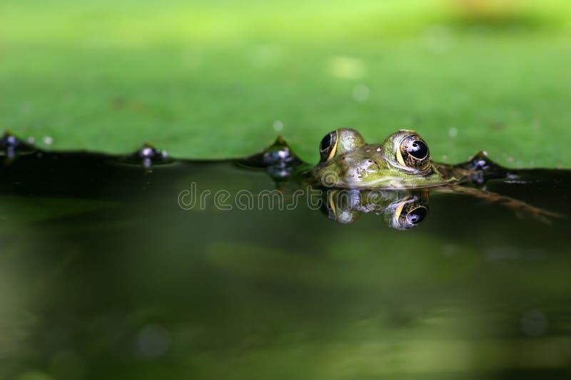 Frog Eyes royalty free stock image