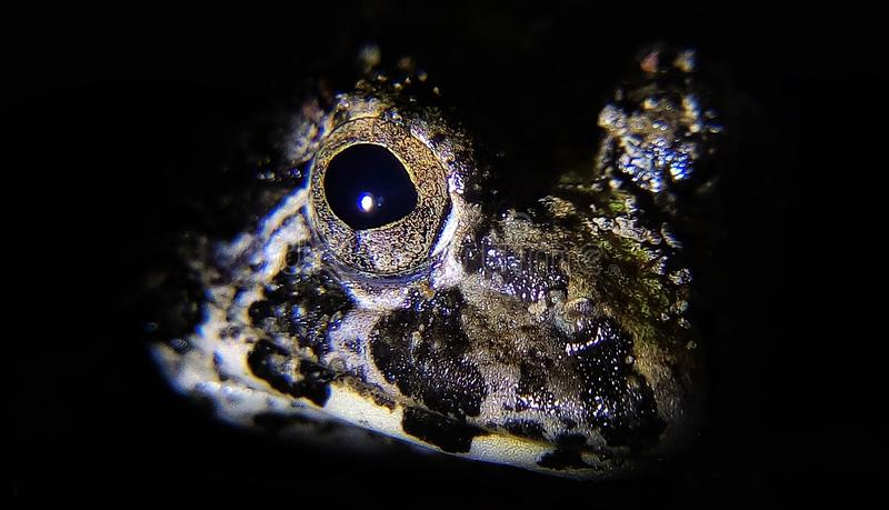 Frog eyes / Horrible royalty free stock photography
