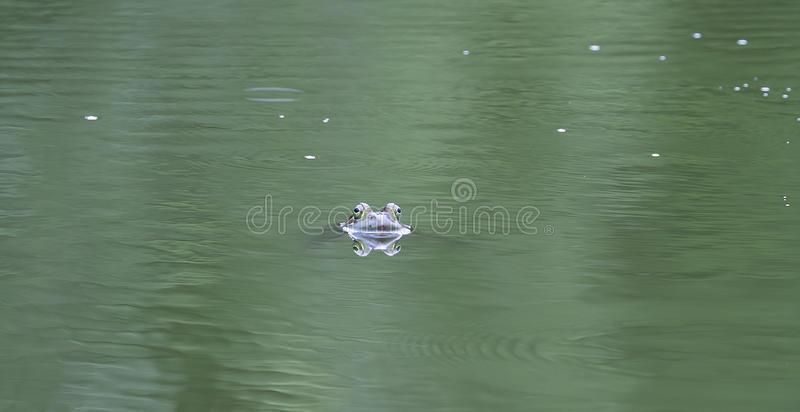 Frog Eyes royalty free stock images
