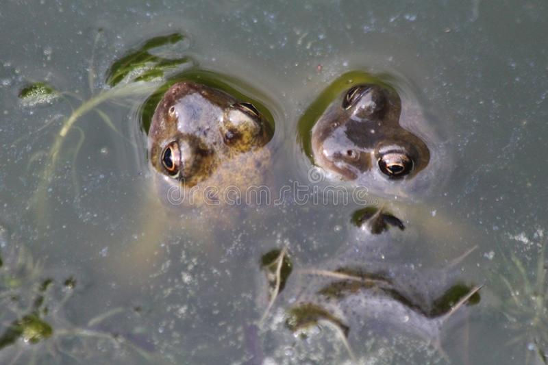 Frog Eyes in Pond royalty free stock images